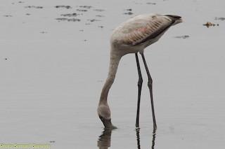 Greater Flamingo, ML253290911
