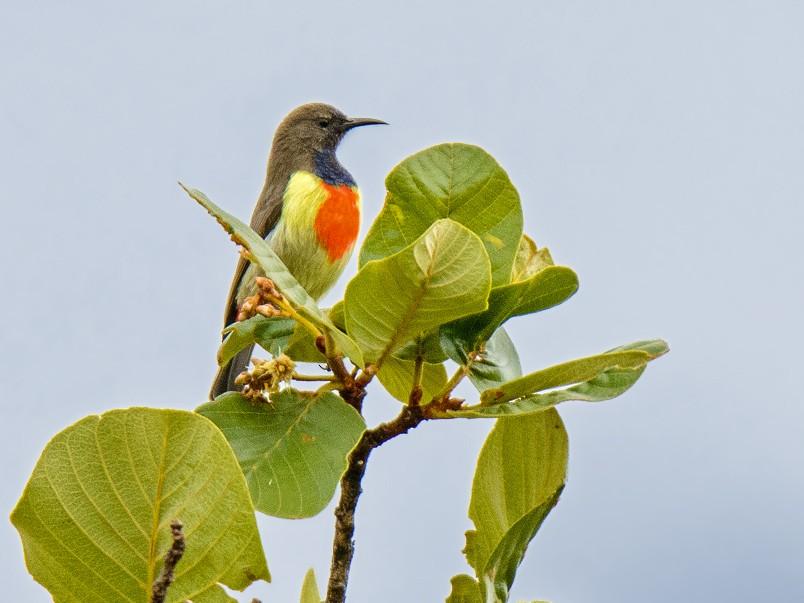 Anchieta's Sunbird - Dylan Vasapolli - Birding Ecotours
