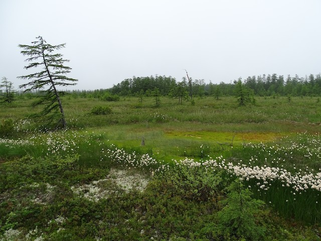 Inland bog with dispersed larch trees and the larch forest stand where Nest #6 was found.