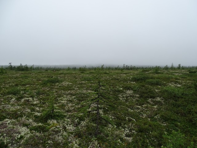 Inland bog separating the coastal meadow from the ilarch forest, with dispersed larches.