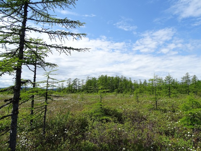 Inland larch forest patch with small dispersed larch trees.