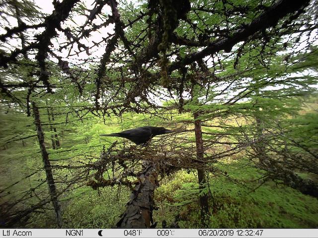 Nest being depredated by a Large-billed Crow (<em>Corvus macrorhynchos</em>).