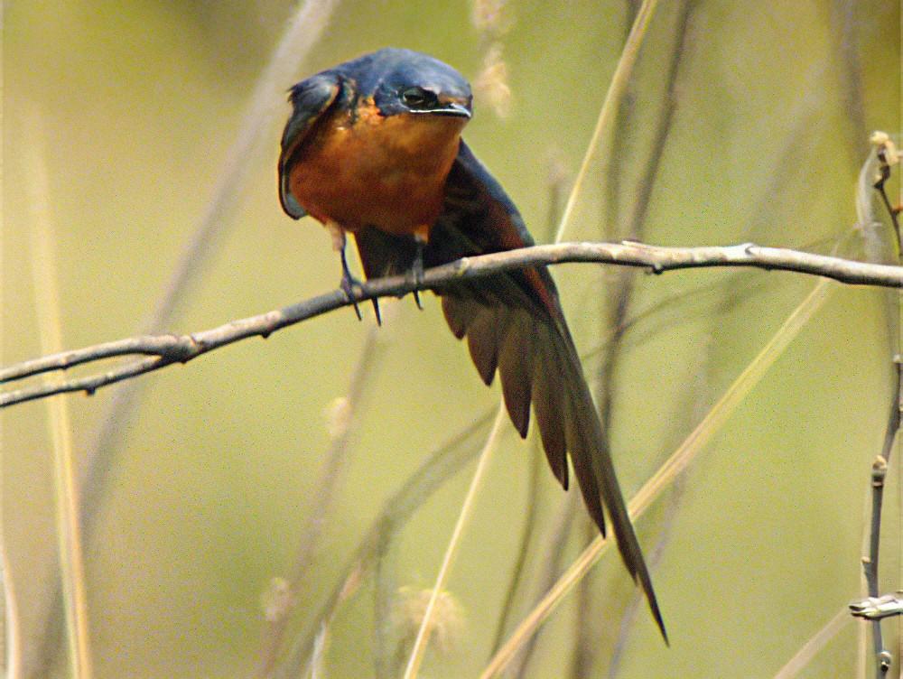 Black-and-rufous Swallow - Nik Borrow