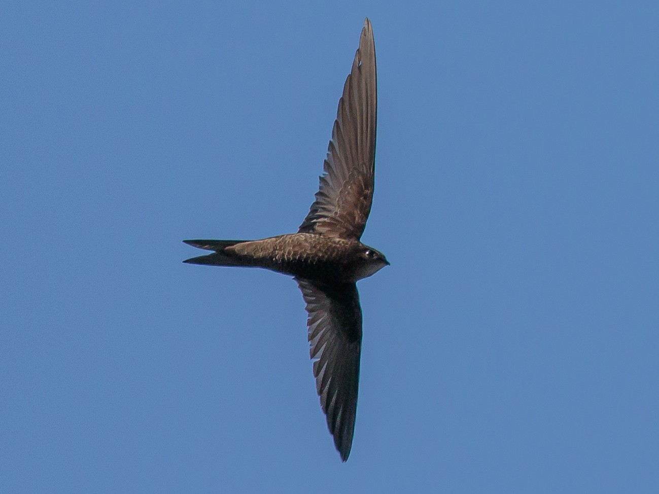 Plain Swift - Martin  Flack
