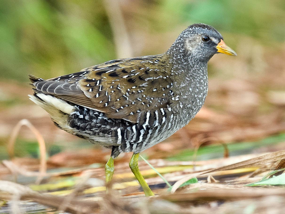 Spotted Crake - Harish Thangaraj