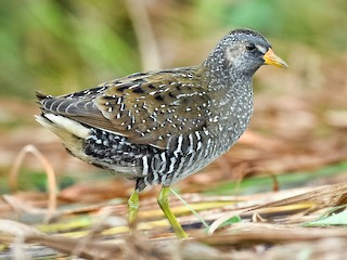 - Spotted Crake
