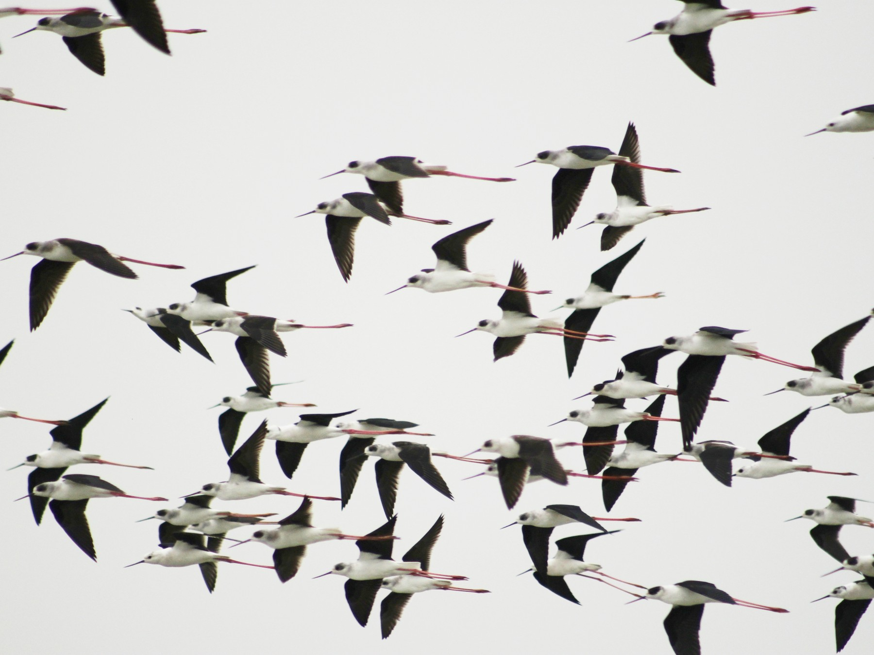 Black-winged Stilt - Anamul Hassan