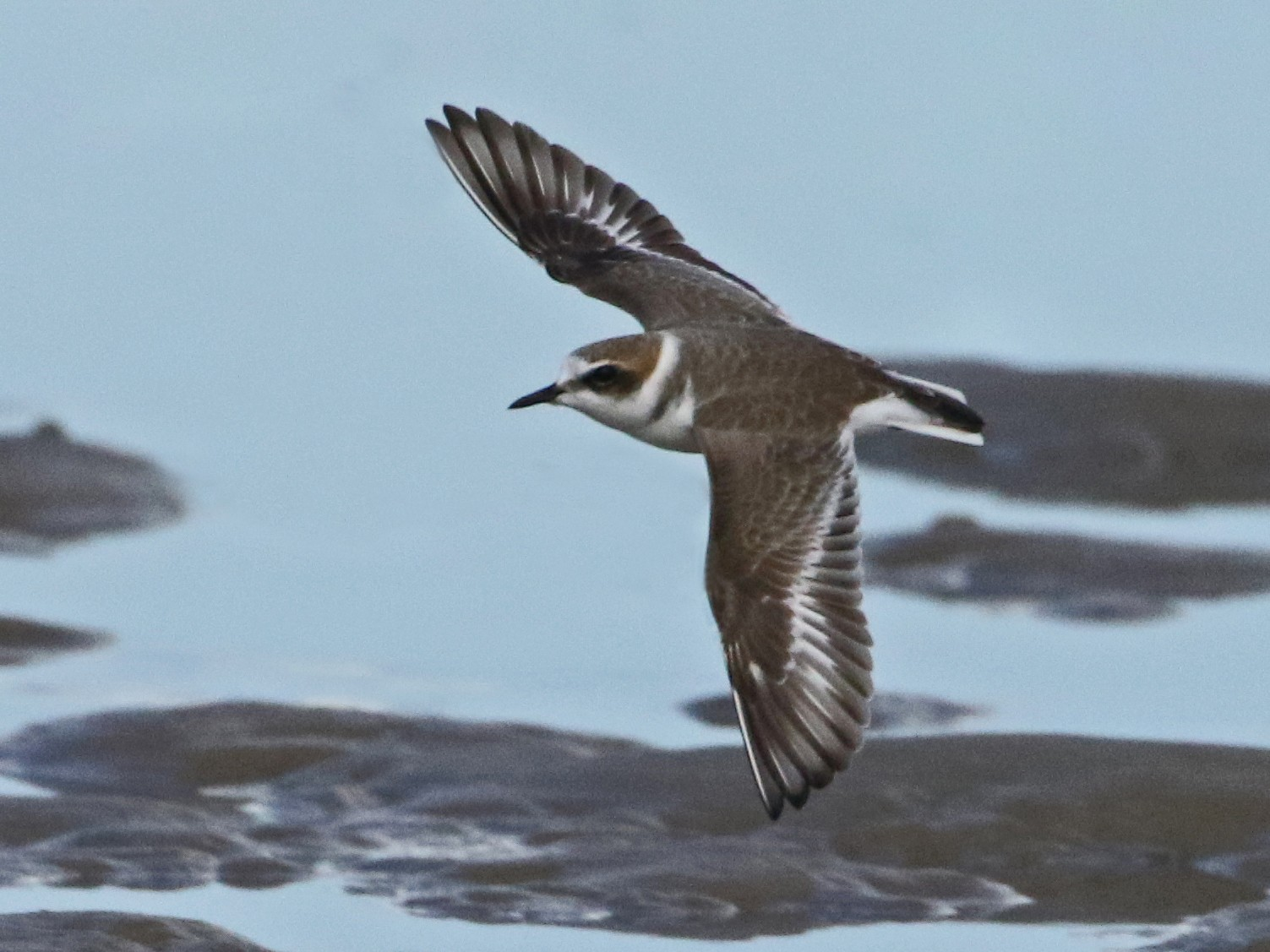 Kentish Plover - Julie Sarna
