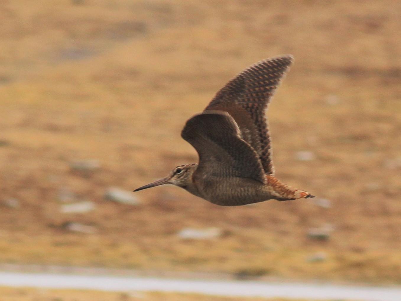 Eurasian Woodcock - Simon Davies