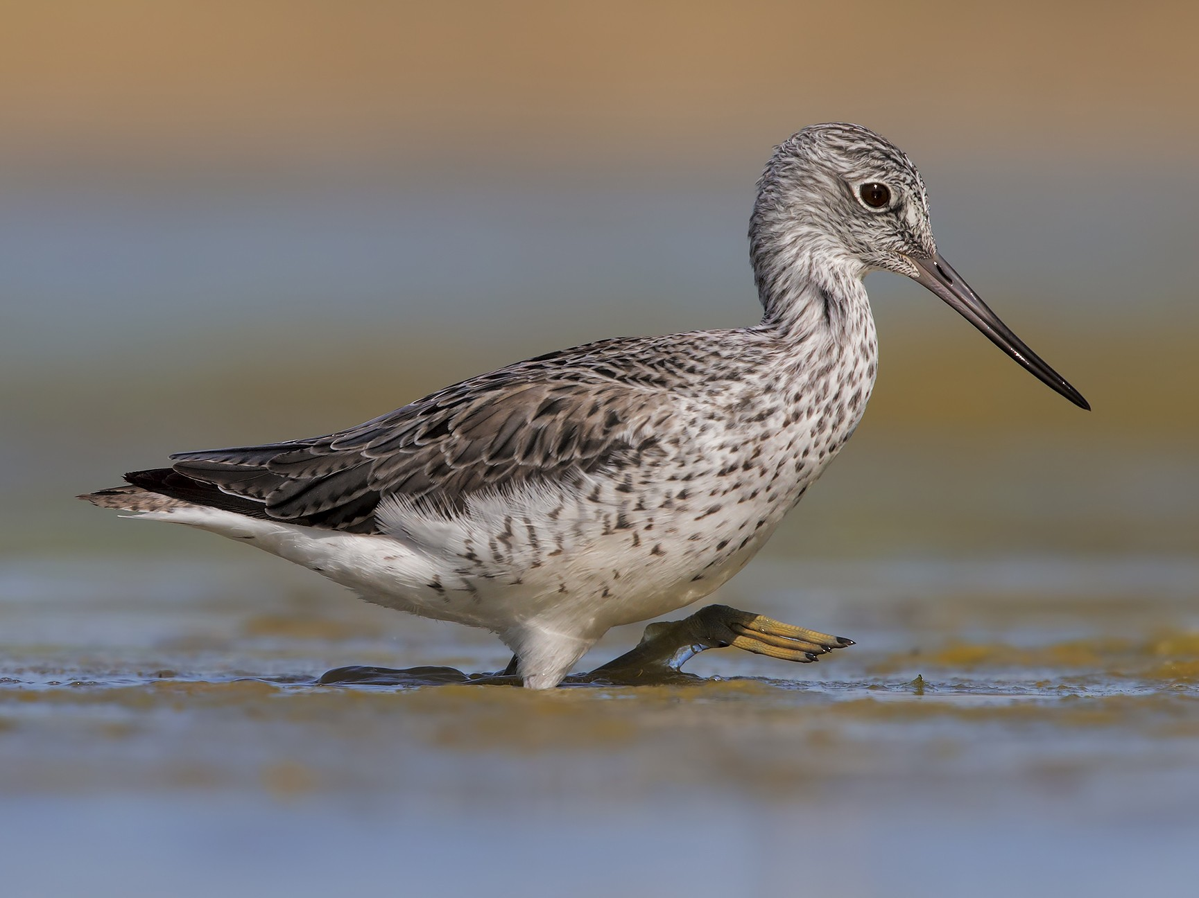 Common Greenshank - Marco Valentini