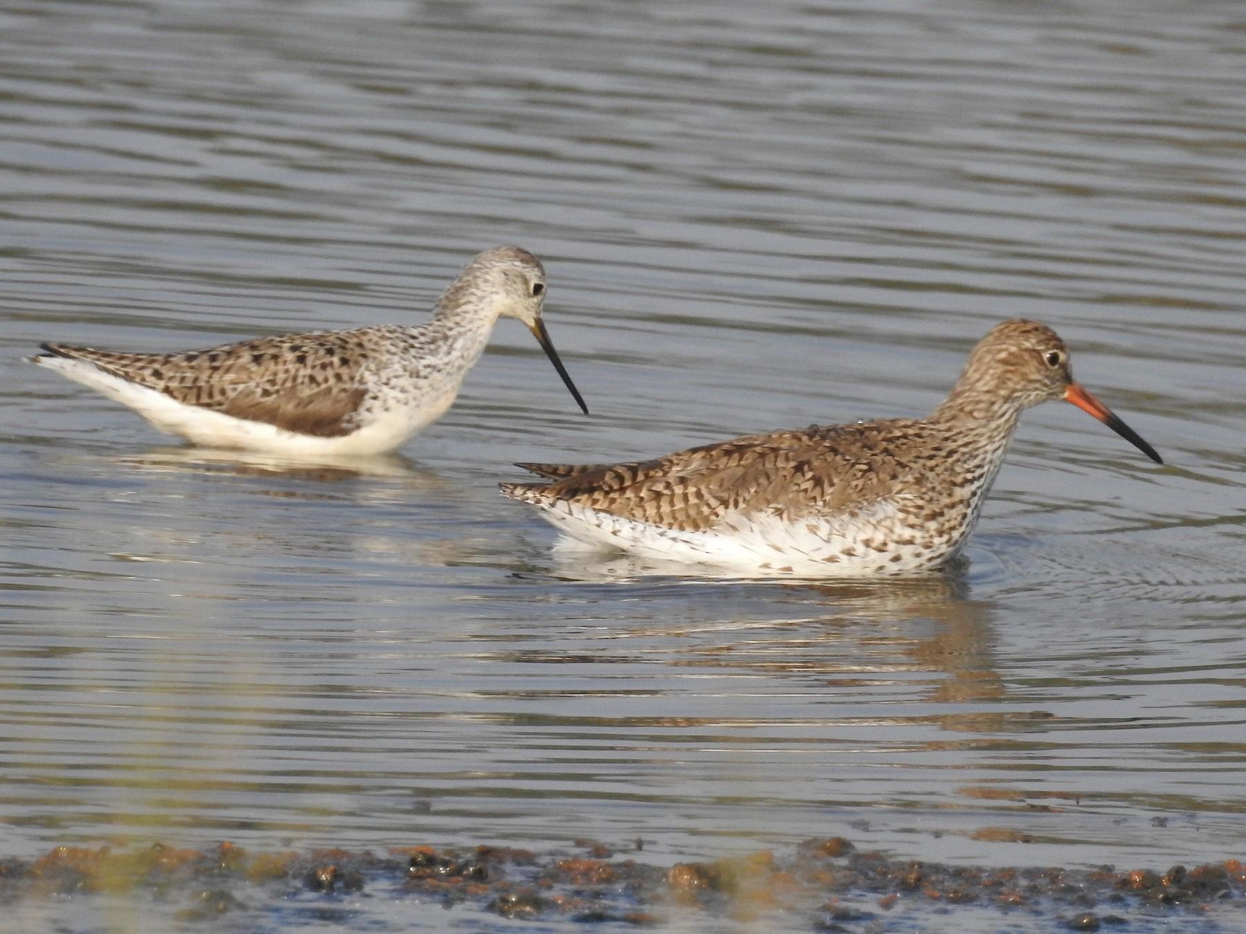 Marsh Sandpiper - Afsar Nayakkan