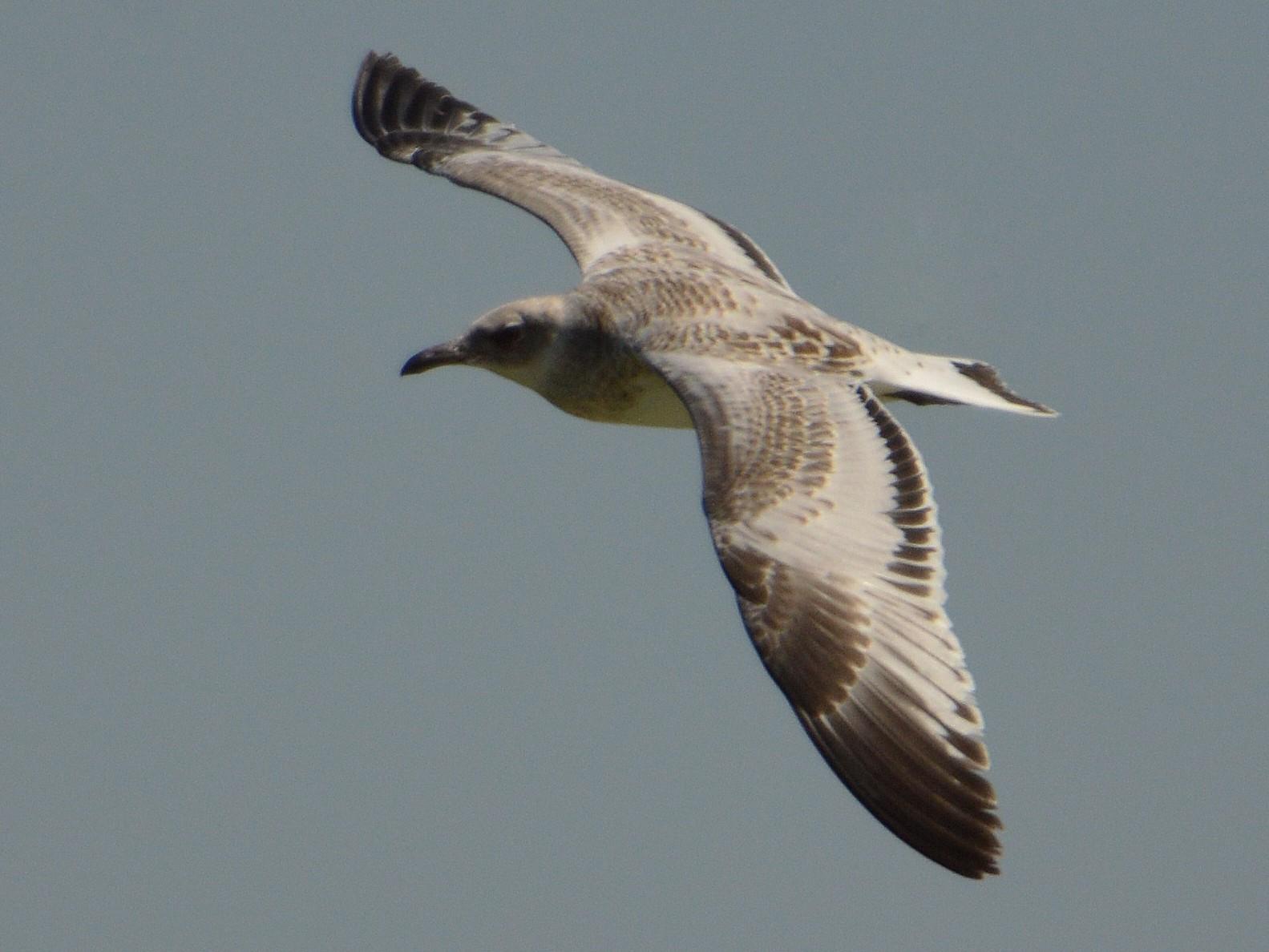 Mediterranean Gull - Mário Estevens