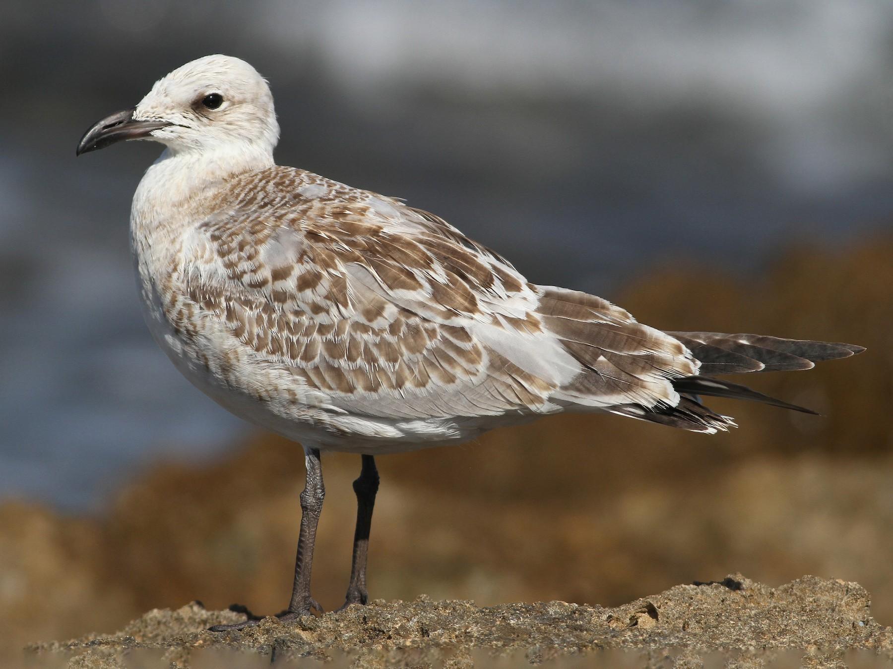 Mediterranean Gull - Elliot Montieth