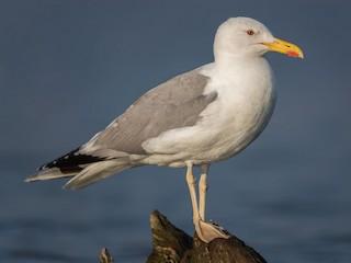 - Caspian Gull