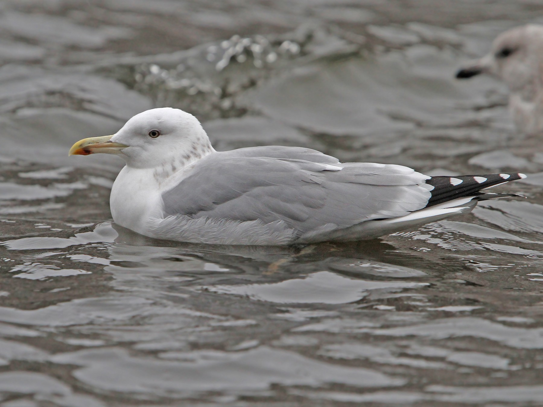 Caspian Gull - Christoph Moning