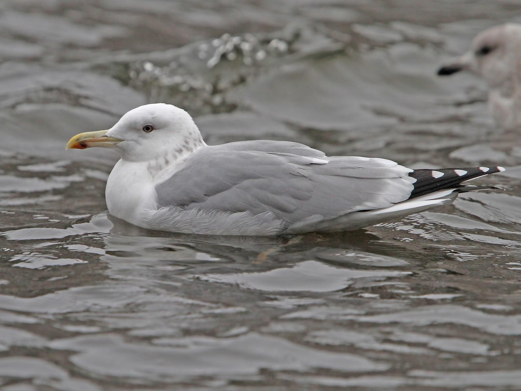 Caspian Gull - Christoph Moning
