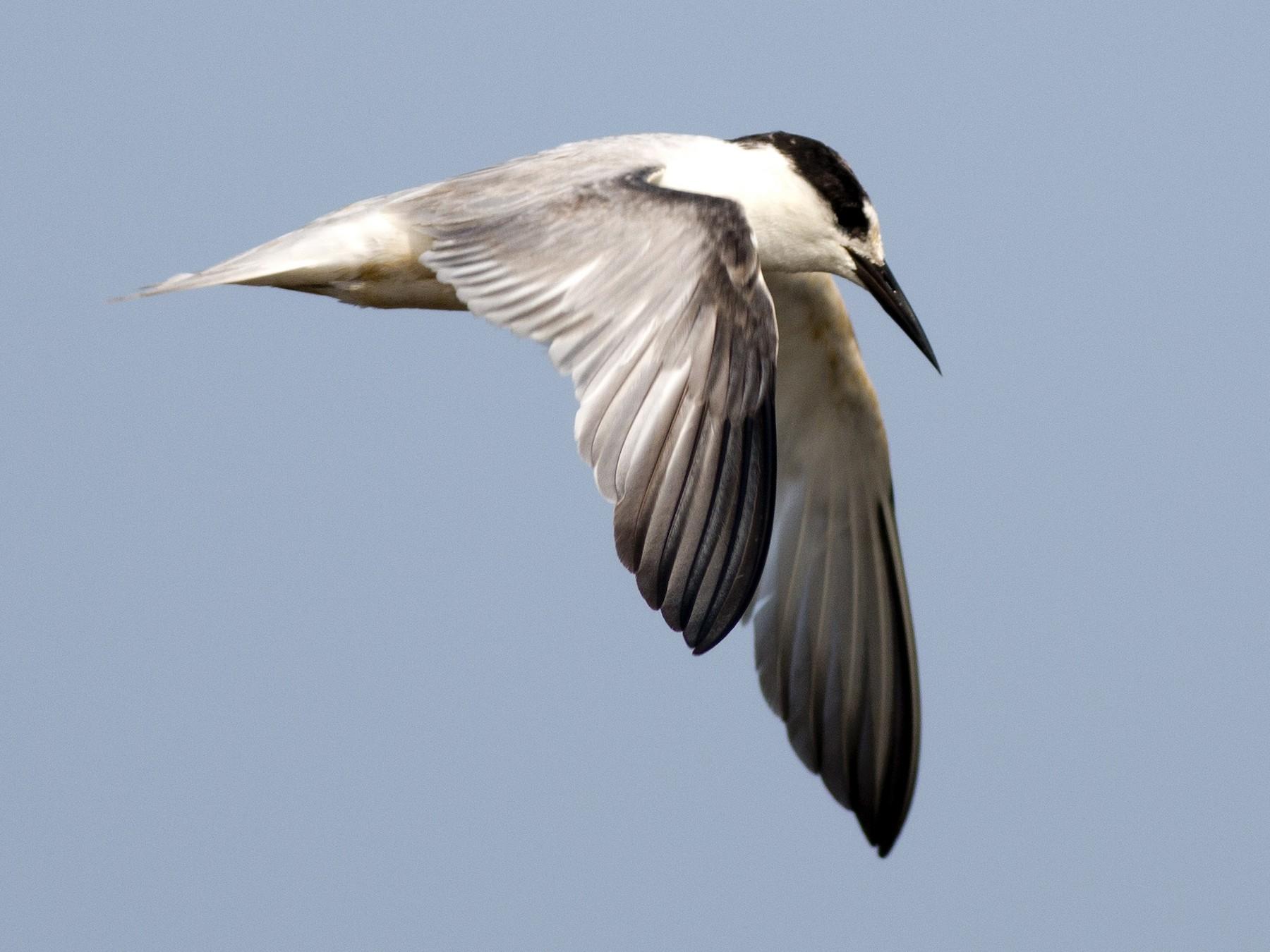 Little Tern - Praveen es