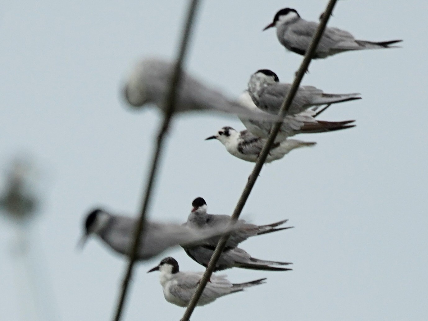 White-winged Tern - JingZu Tu