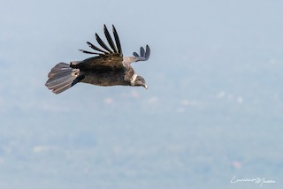 Andean Condor, ML253827901