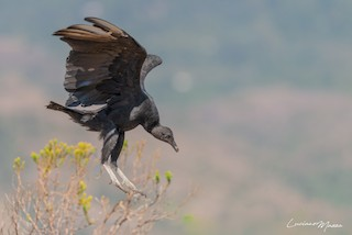 Black Vulture, ML253828181