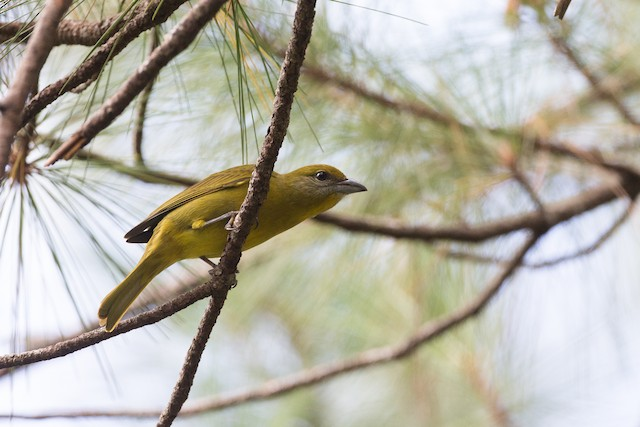 Hepatic Tanager (Northern)