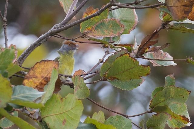 Rufous-browed Peppershrike