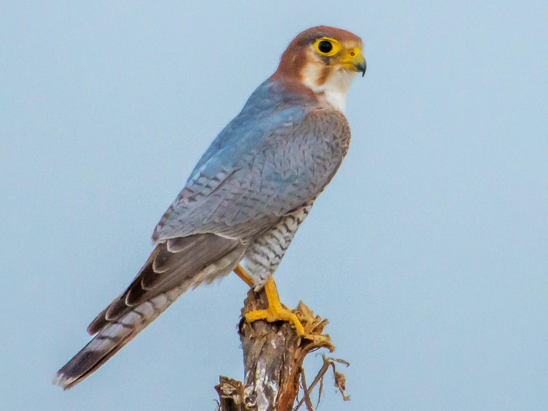 Red-necked Falcon - Arunava Bhattacharjee