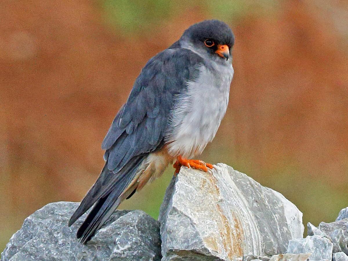 Amur Falcon - Nigel Voaden