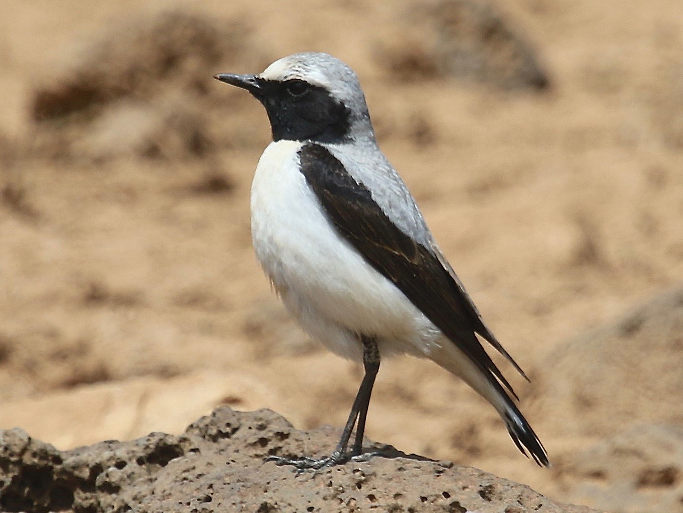 Northern Wheatear - Gil Ewing