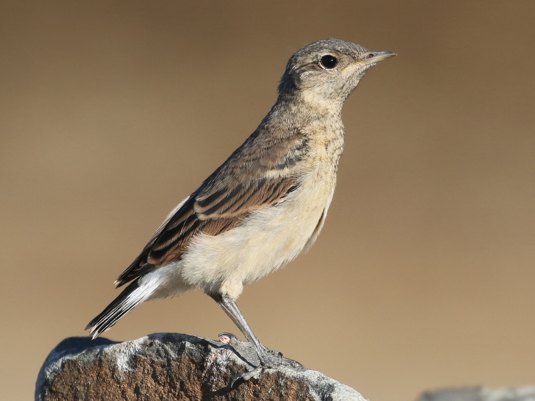 Northern Wheatear - Andrew Spencer