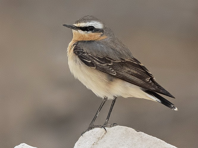 Northern Wheatear - Yoav Perlman