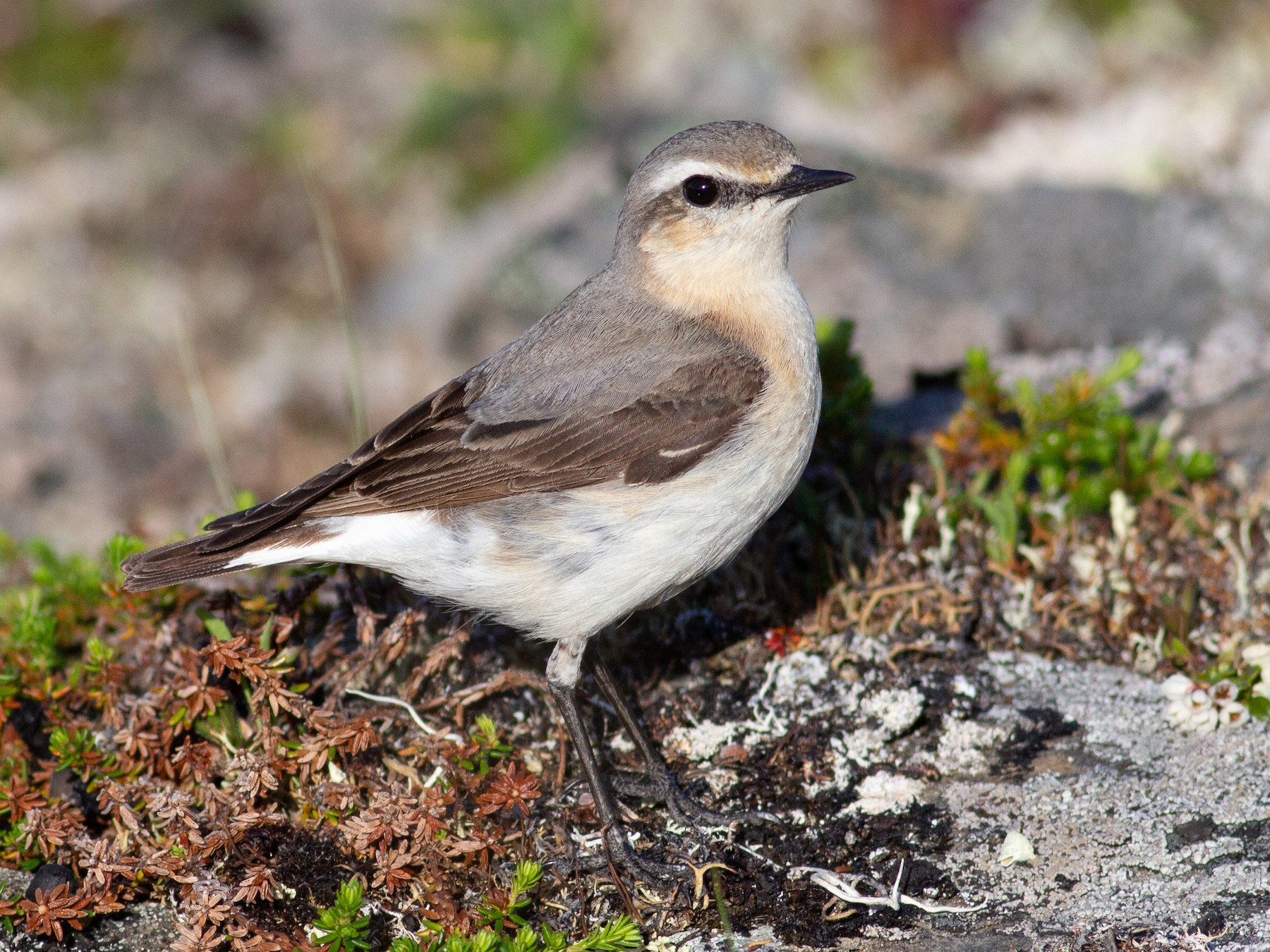Northern Wheatear - Tom Auer