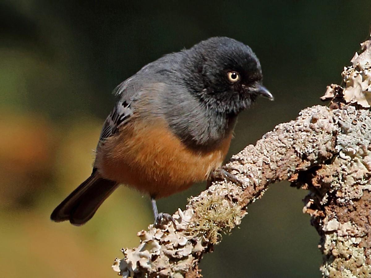 Rufous-bellied Tit - Nigel Voaden
