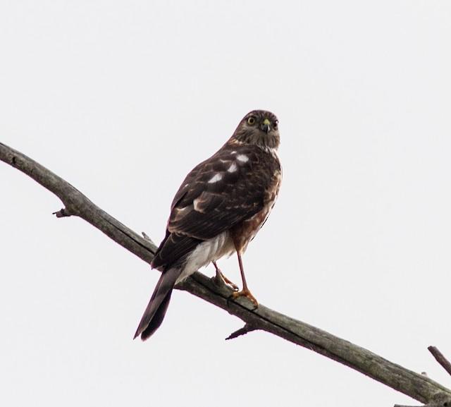 Sharp-shinned Hawk (Northern)