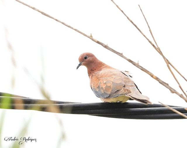 © Andrés Rodriguez hornillo - Laughing Dove
