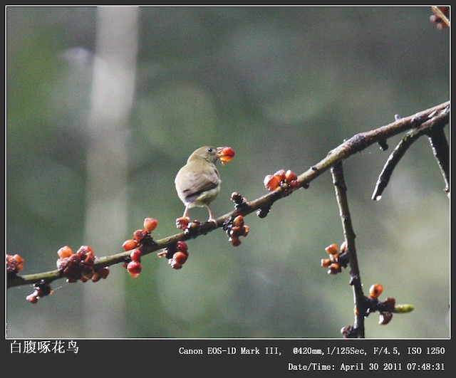 White-bellied Flowerpecker