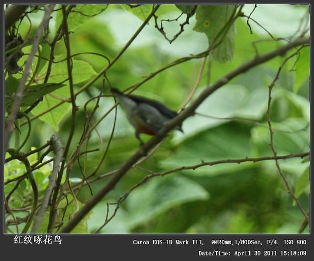 Red-keeled Flowerpecker