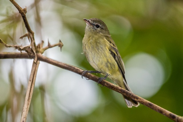 Rough-legged Tyrannulet