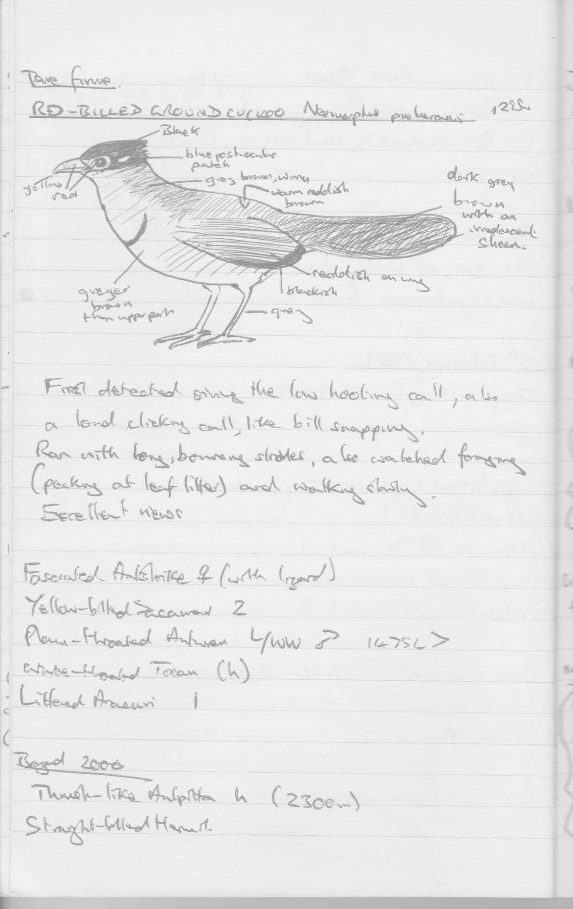 Red-billed Ground-Cuckoo - Martin Kelsey