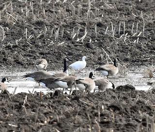 Ross's Goose, ML25471081