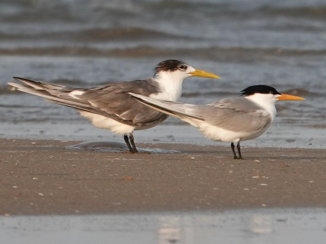 Lesser Crested Tern - Balaji P B