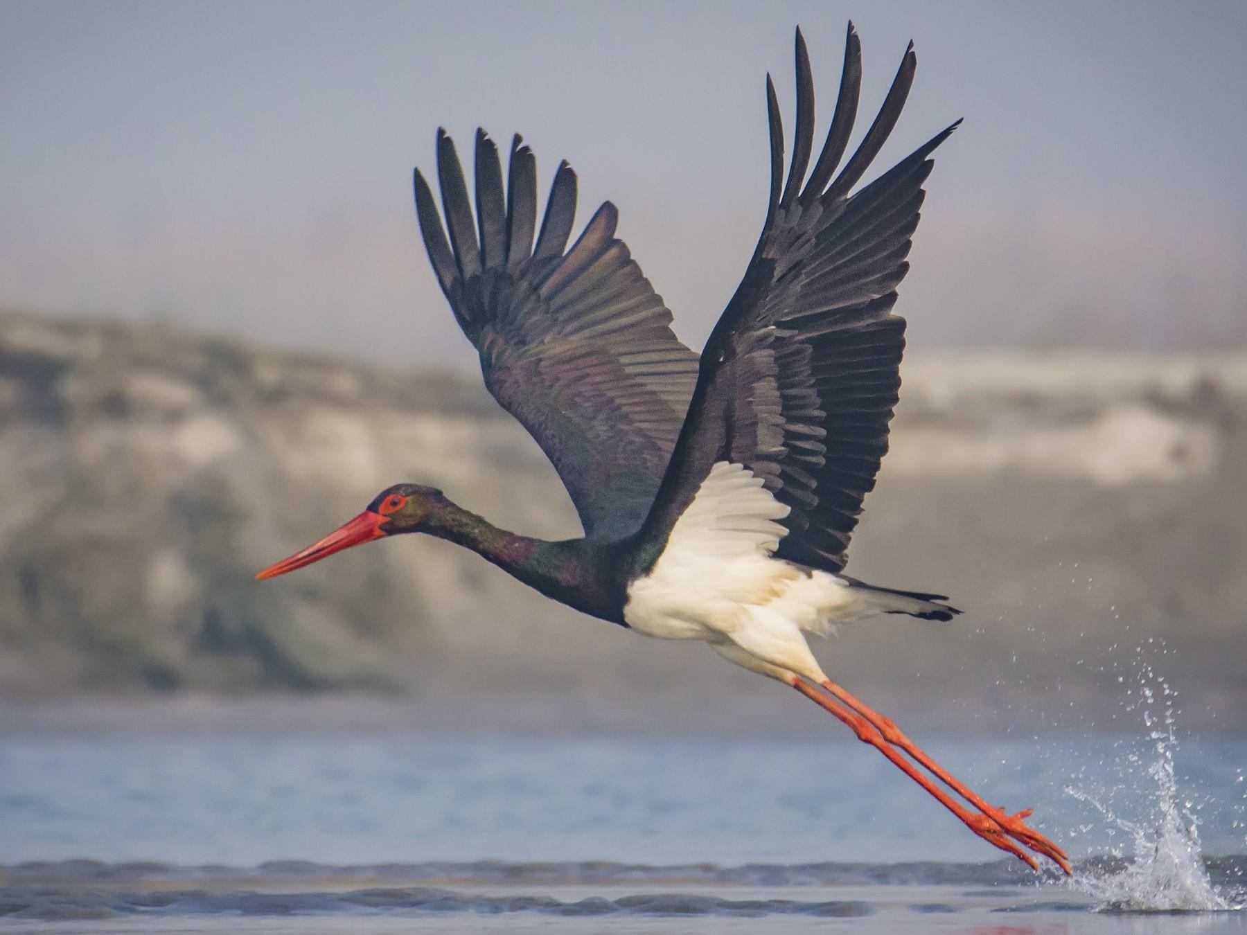 Black Stork - Prasil Biswas