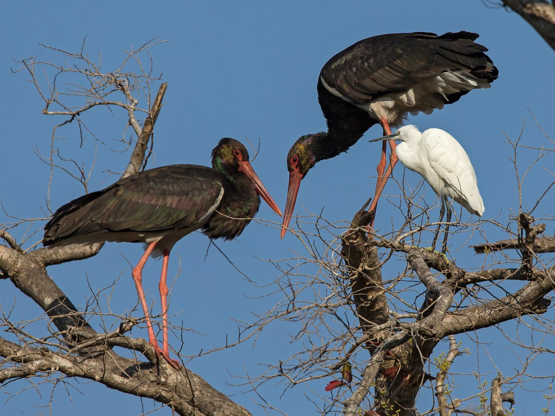 Black Stork - Marco Valentini