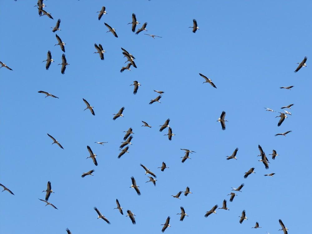 White Stork - Pedro Fernandes