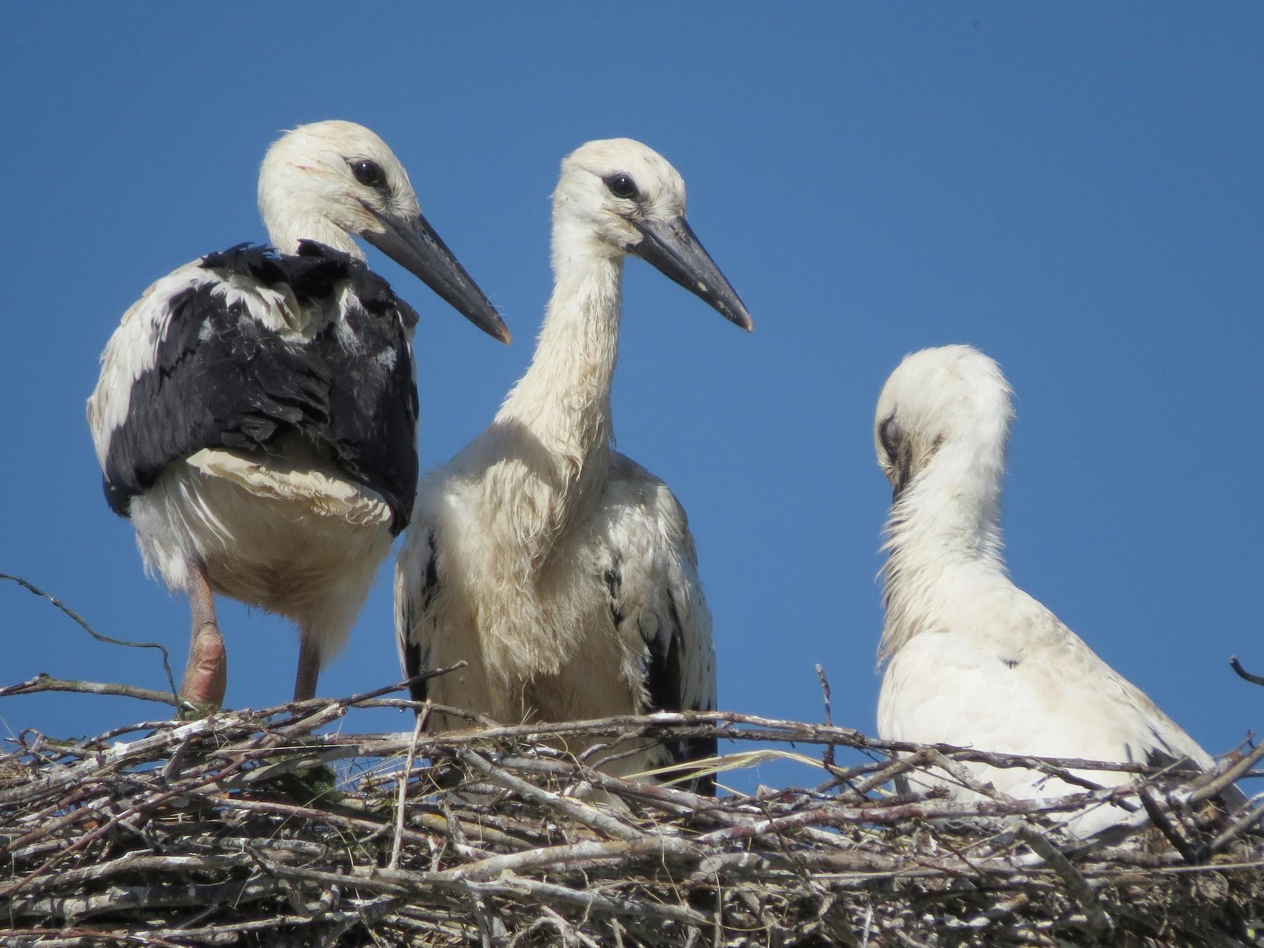 White Stork - Miguel Rodríguez Esteban