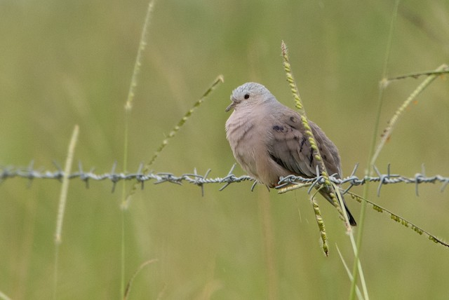 Plain-breasted Ground Dove