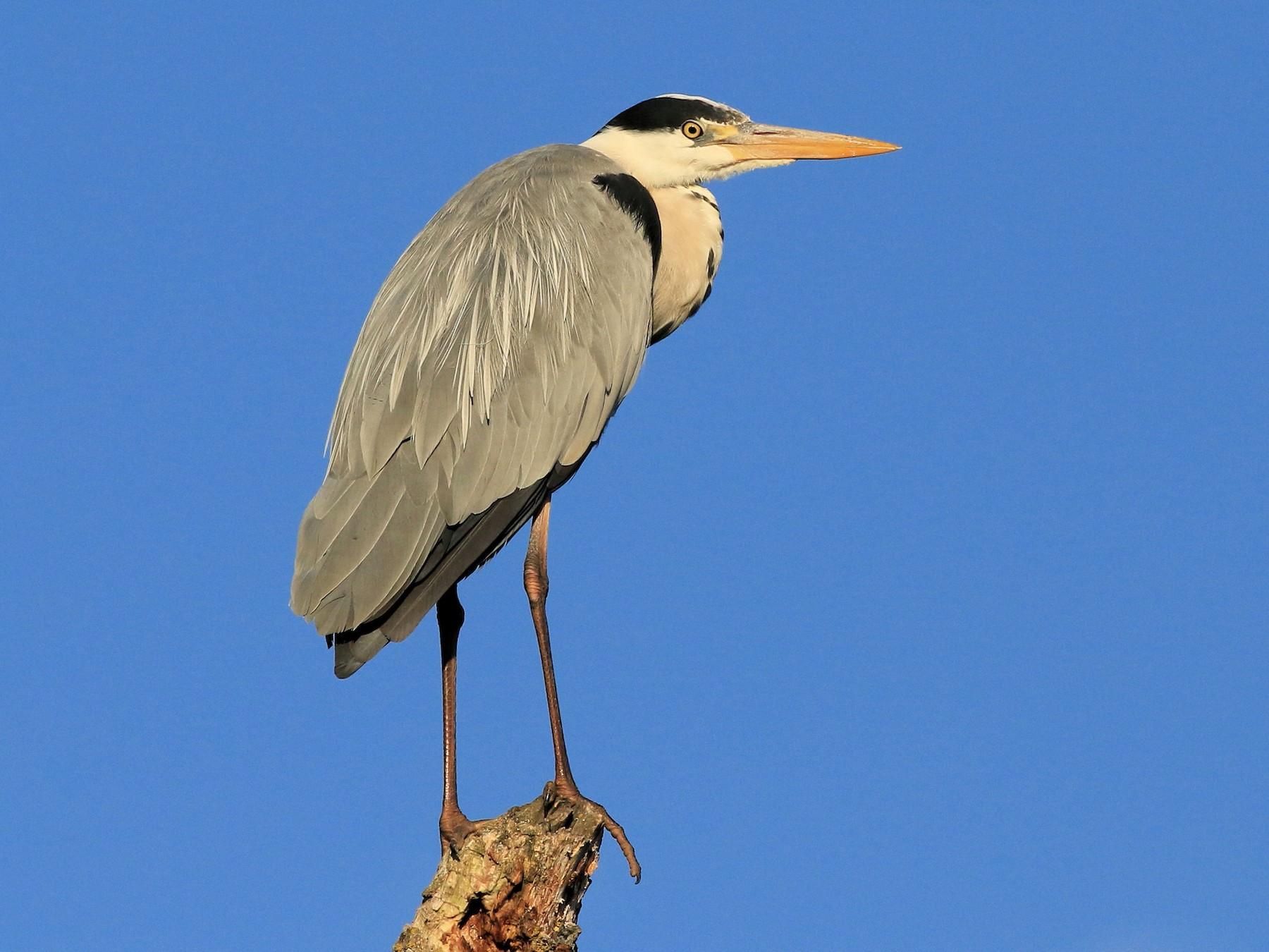 Gray Heron - Patrick MONNEY