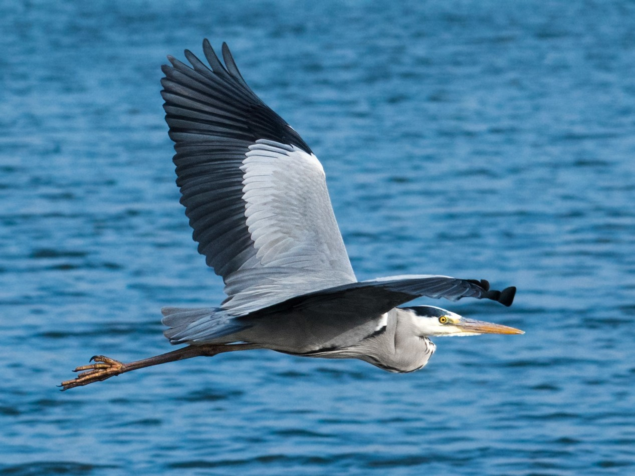 Gray Heron - Chris Maines
