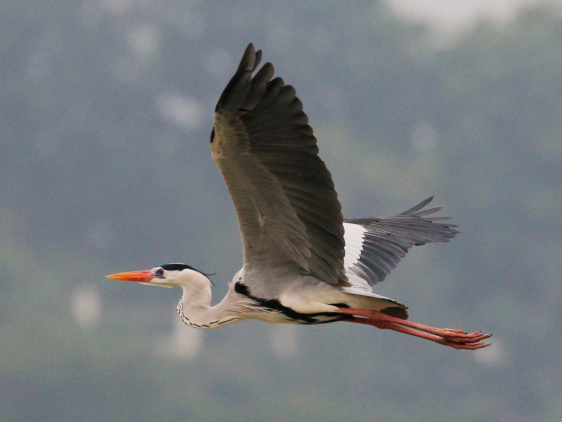 Gray Heron - Neoh Hor Kee