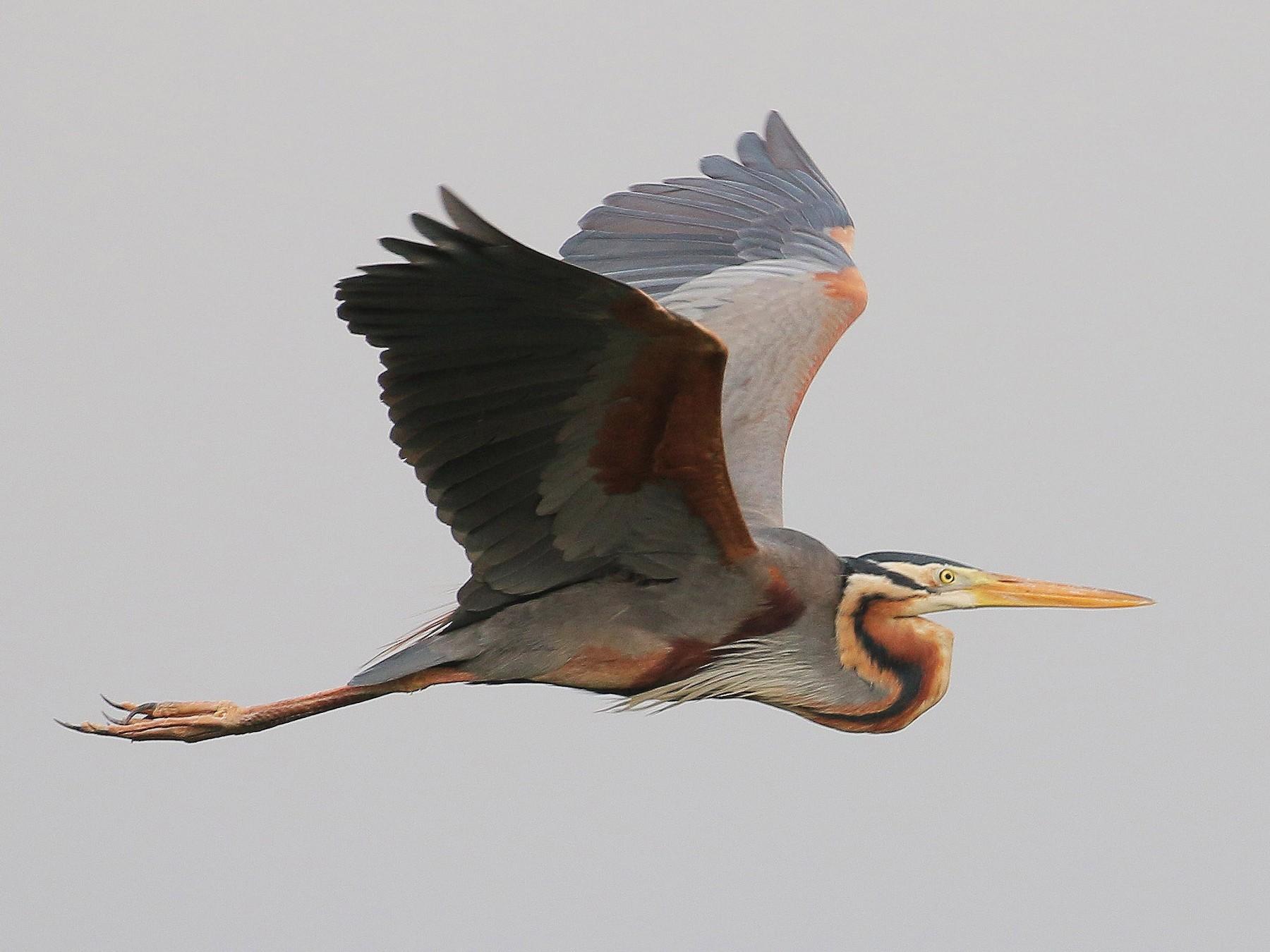 Purple Heron - Neoh Hor Kee